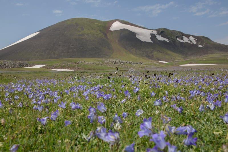 Flowers Mountain flowers wild flowers. Armenian Mountains Geghama Mountains Ararat Mountains Lndscapes in mountains Mountain Flowers stock images