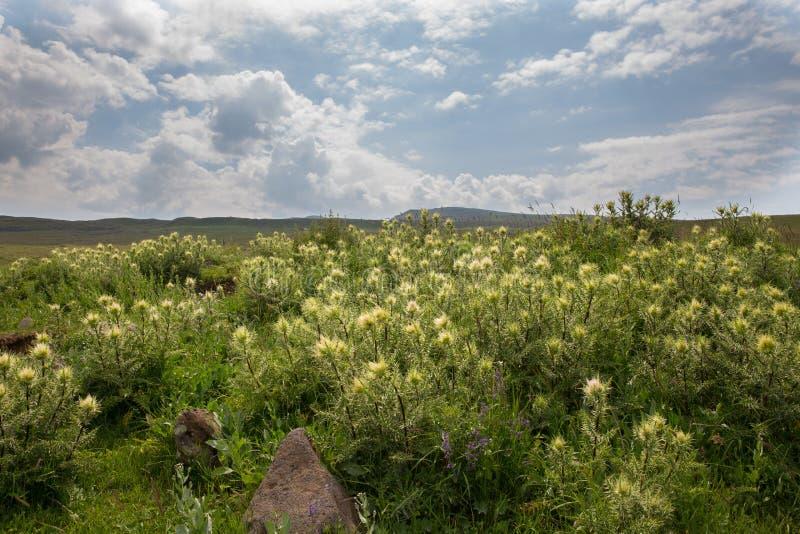 Flowers Mountain flowers wild flowers. Armenian Mountains Geghama Mountains Ararat Mountains Lndscapes in mountains Mountain Flowers royalty free stock image