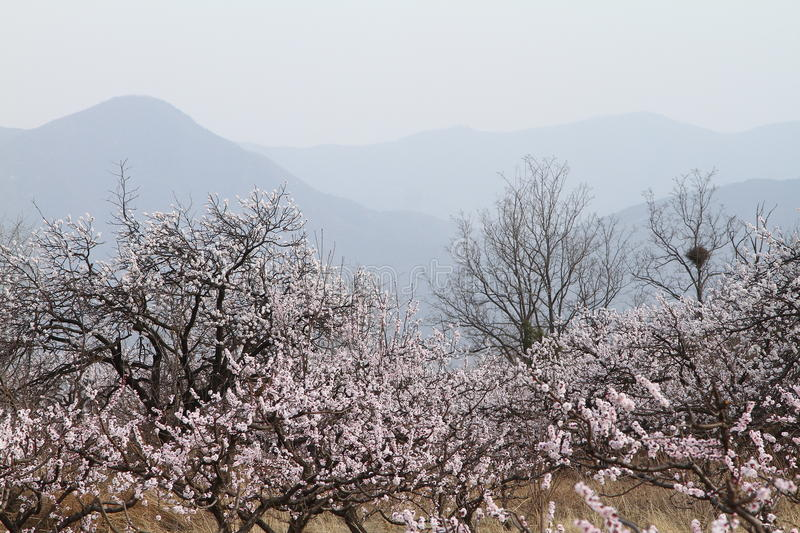 Download Flowers and mountains stock photo. Image of mountains - 30551438