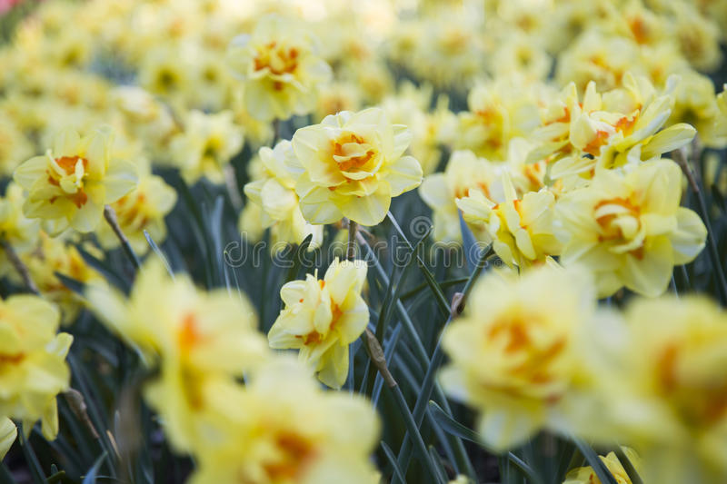 Flowers of Narcissus stock photography