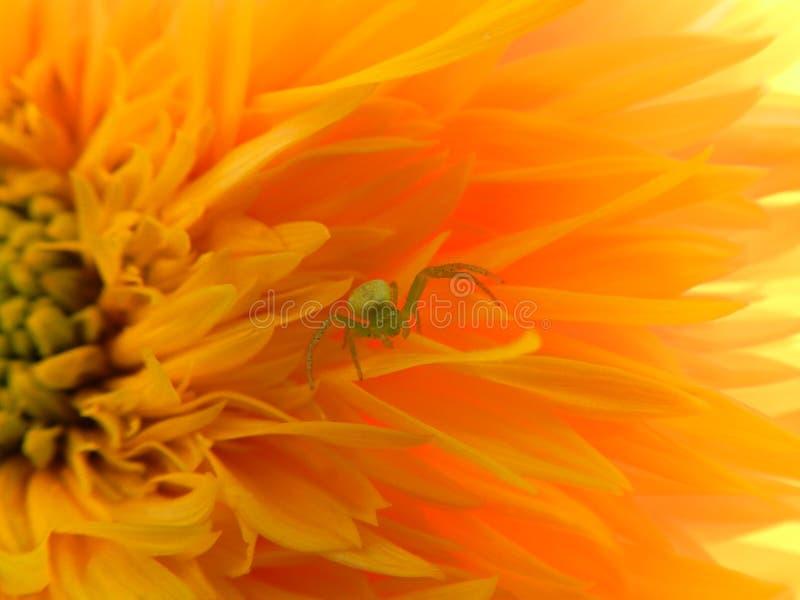 Flowers, nature, garden, field, outdoors,паук ,spider petals, beauty, beautiful, white, yellow. Beautiful flowers of chamomile in yellowish white stock photos