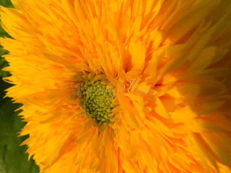 Flowers, nature, garden, field, outdoors,паук ,spider petals, beauty, beautiful, white, yellow. Beautiful flowers of chamomile in yellowish white stock image