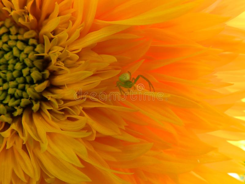 Flowers, nature, garden, field, outdoors,паук ,spider petals, beauty, beautiful, white, yellow. A small green spider lives on a huge yellow flower royalty free stock image