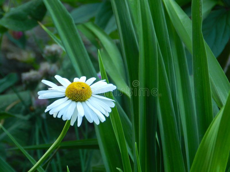 Flowers, nature, garden, field, outdoors, petals, beauty, beautiful, white, yellow. Beautiful flowers in the garden against the background of luscious greenery royalty free stock image