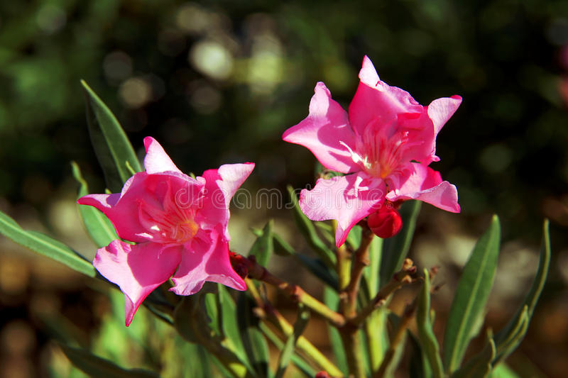 Download Flowers of nerium oleander stock image. Image of shurb - 26744115