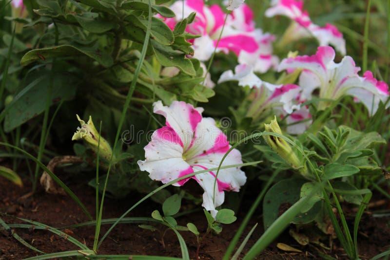 Flowers in NIT warangal royalty free stock photos