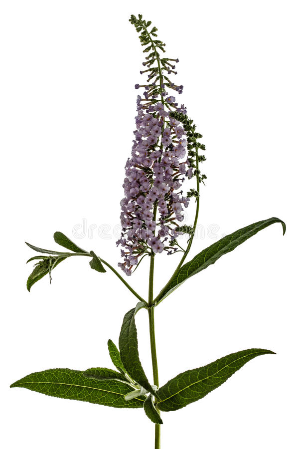 Free Flowers Of Buddleja, Lat. Buddleja Davidii, Isolated On White Ba Stock Photos - 50394153