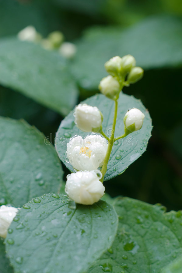 Free Flowers Of Jasmin After Rain Stock Photo - 5669260