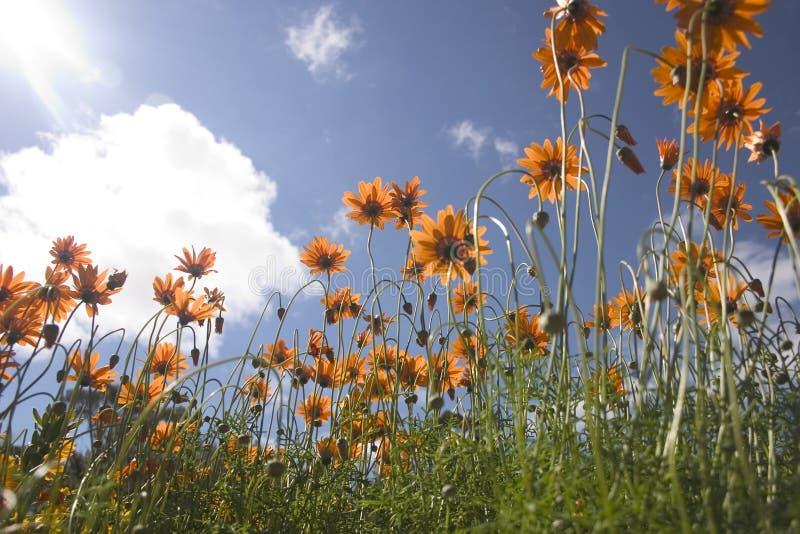 flowers orange στοκ φωτογραφία με δικαίωμα ελεύθερης χρήσης