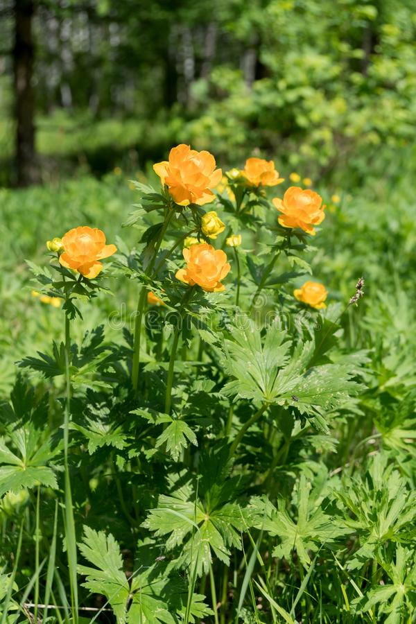 Flowers of orange Globe-flower Asian lat. Trollius asiaticus in the forest clearing, on a sunny summer day royalty free stock photography