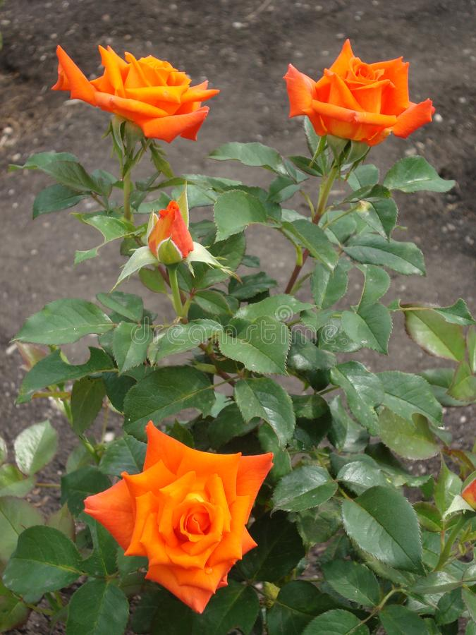 The flowers are orange roses in the summer garden. stock photography