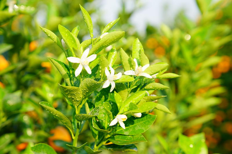 Download Flowers Of An Orange Tree Stock Photo - Image: 83702129