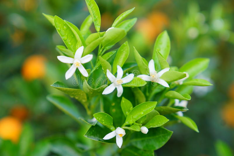 Download Flowers of an orange tree stock image. Image of bloom - 83703631
