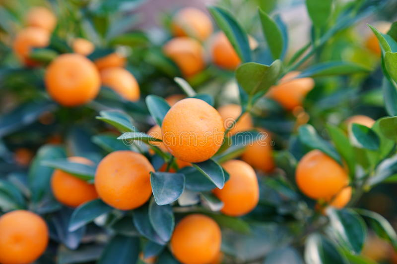 Download Flowers Of An Orange Tree Stock Photo - Image: 83704387