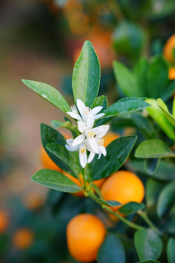 Download Flowers Of An Orange Tree Stock Photo - Image: 83704524