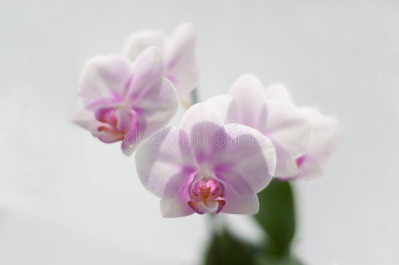 Flowers Orchid Phalaenopsis Miki Sakura close-up on white background stock images