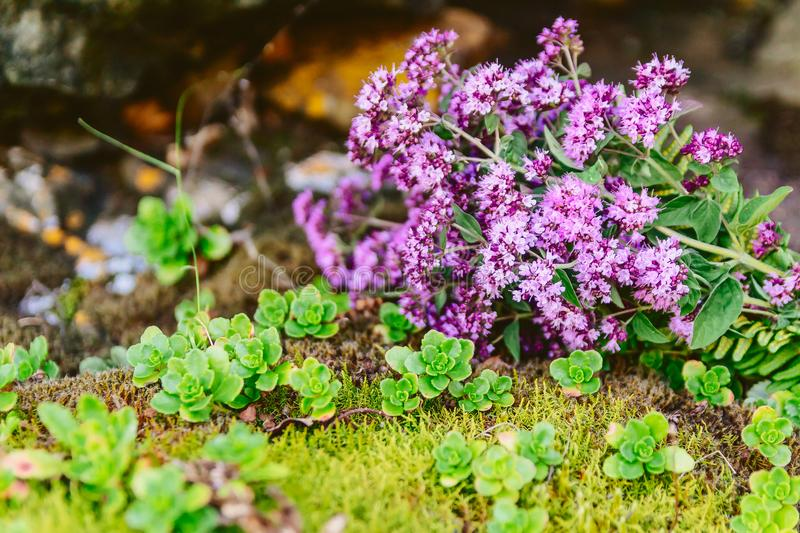 The flowers of oregano in the mountains. Nature royalty free stock photography