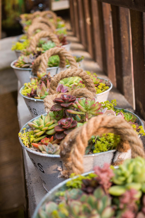 Flowers in the pail. Many barrels of succulent plants stock photography