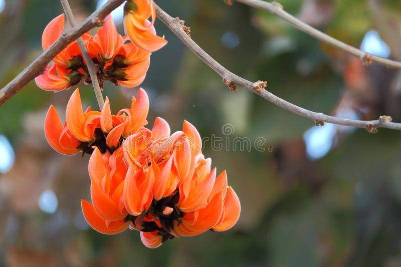 Flowers of palash butea monosperma. Closeup image of flowers. the flower blooms in the summer season. the color of these flowers is like a fire. these flowers stock photo