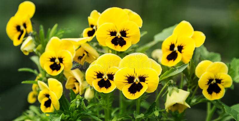 Flowers pansies bright yellow with a dark mid-closeup. Flowers pansies bright yellow colors with a dark mid-closeup stock images