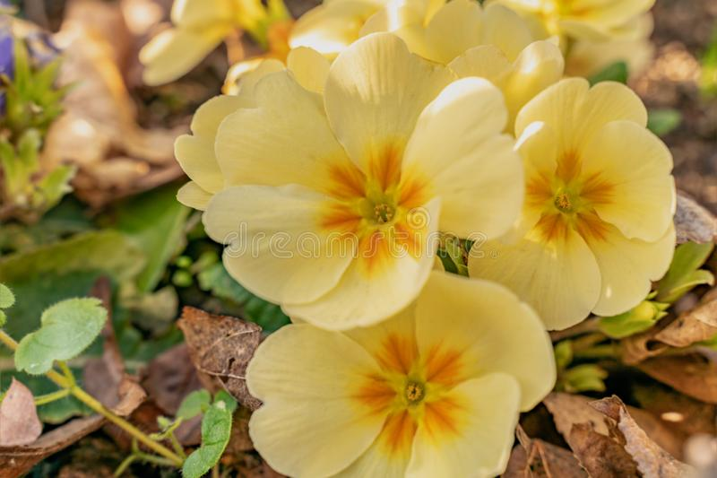 Flowers of Pansy in a garden bed in full bloom. Yellow pansies represent happiness or a bright disposition which is ideal for. Spring stock photo