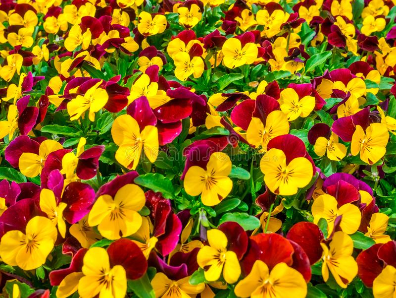 Flowers pansy top down beautiful field of green grass close up blurred as background in the nature yellow and red color, panorama. royalty free stock photos