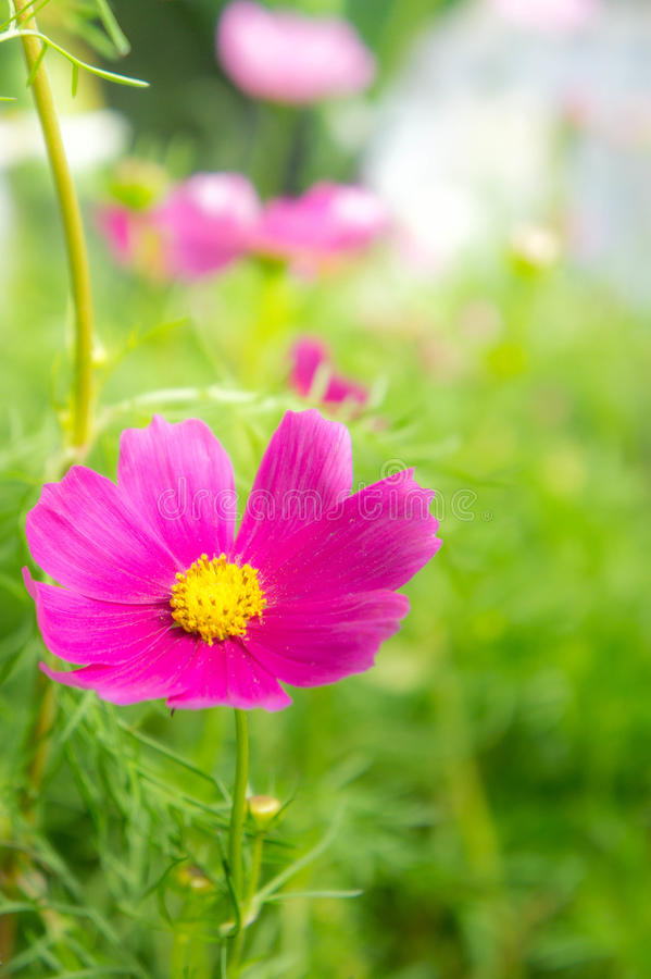 Flowers in the park , cosmos pink flowers in the garden. The flowers in the park , cosmos pink flowers in the garden royalty free stock image