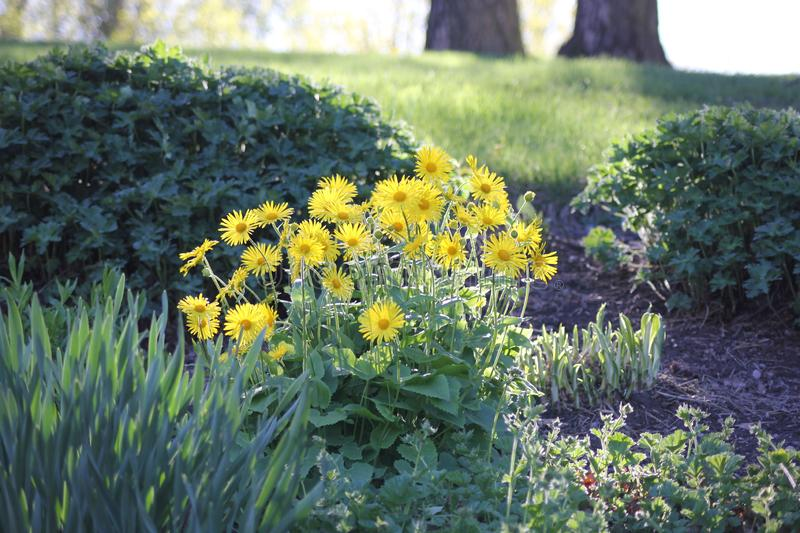 Flowers in a park. Yellow flowers in a park royalty free stock photography