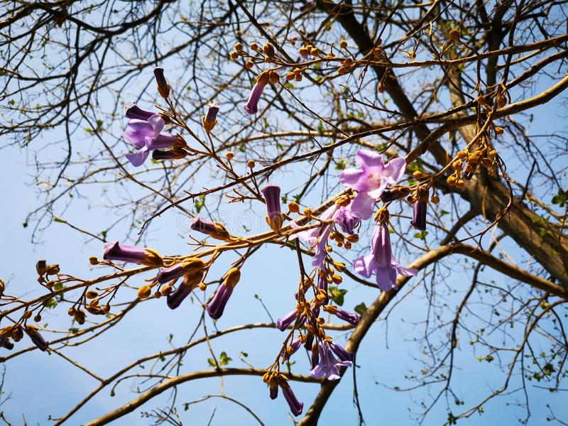 Flowers of Paulownia on the branches of the tree stock image