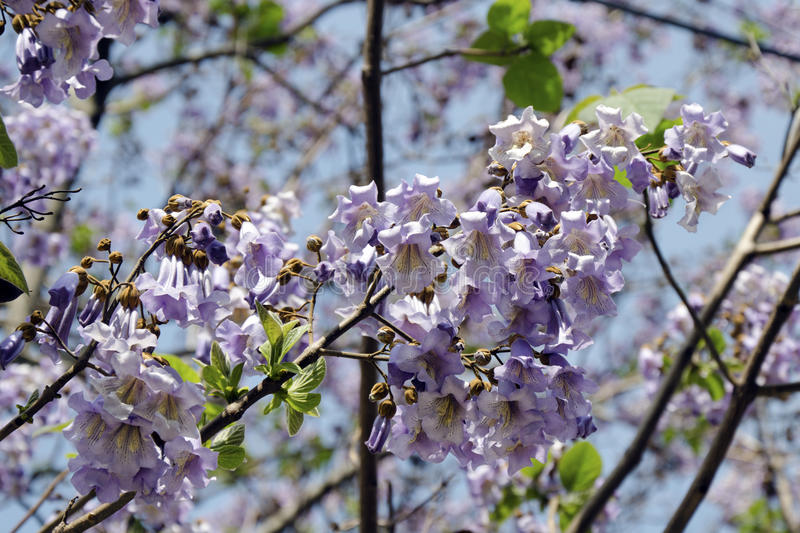 The flowers of Paulownia tomentosa stock images