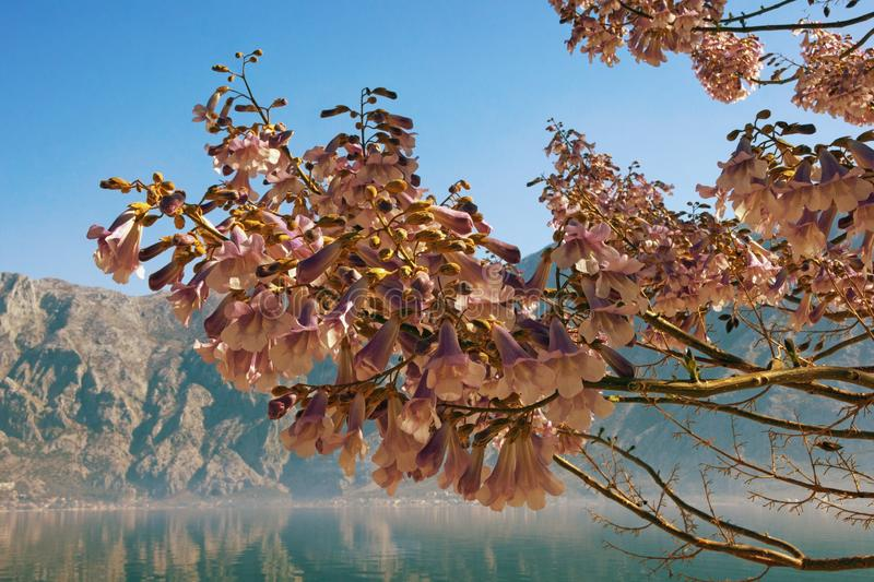Flowers of Paulownia tomentosa tree on sunny spring day. Bay of Kotor, Montenegro royalty free stock photos