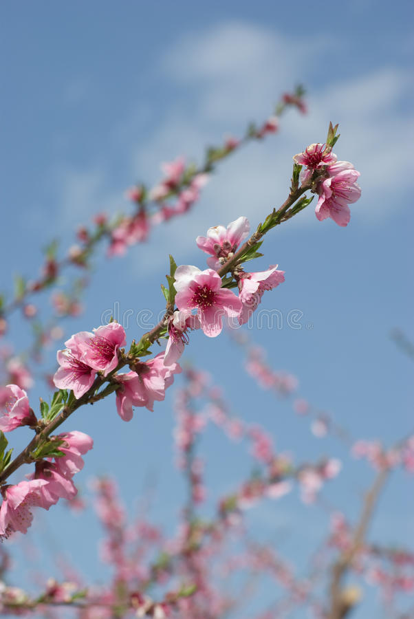 Download Flowers Of Peach stock image. Image of orchard, blossoming - 12524723