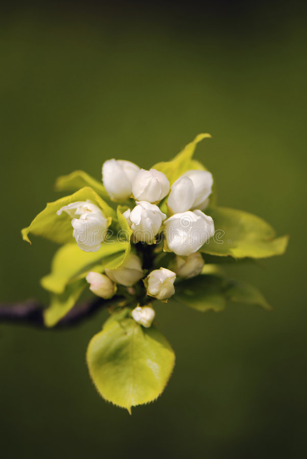 Flowers pear royalty free stock image