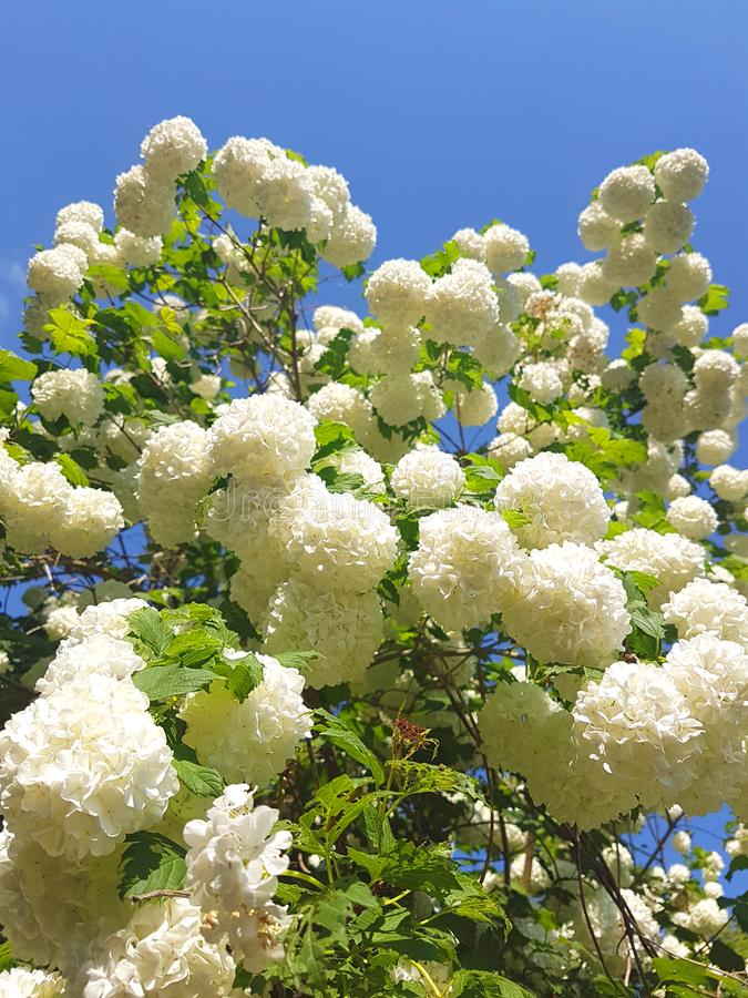 Flowers of pear blossoms on a spring day in aarden. Flowers of pear blossoms on a spring day in a garden stock image