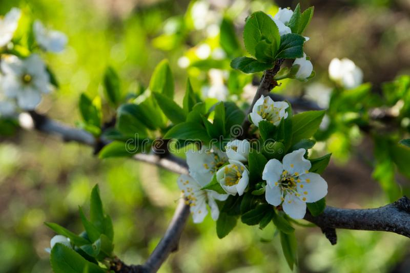 Flowers on pear branches in spring time stock photo