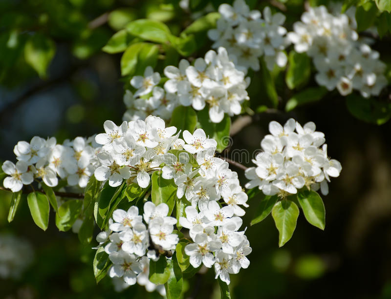 Flowers of a pear ordinary (Pyrus communis L.), close up. Flowers of a pear ordinary Pyrus communis L royalty free stock photos