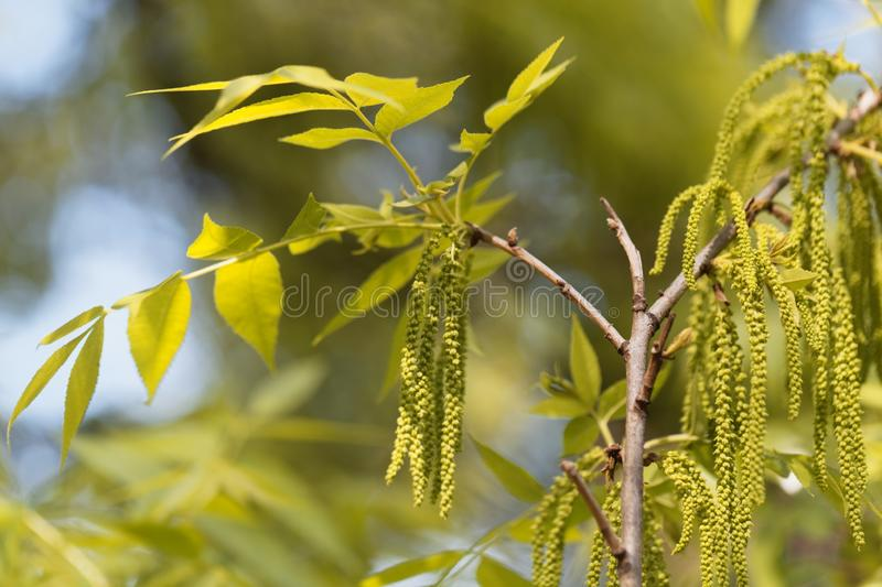 Flowers of a pecan, Carya illinoinensis. Flowers of a pecan tree , Carya illinoinensis royalty free stock photography