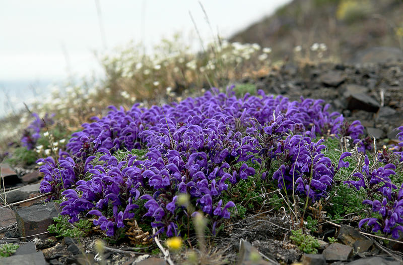 Flowers Pedicularis in the tundra. royalty free stock images