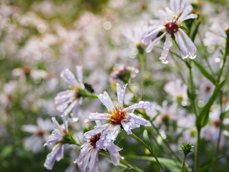 Flowers perennial asters in the autumn rain. Flowers perennial Aster serdtselistny. stock photos