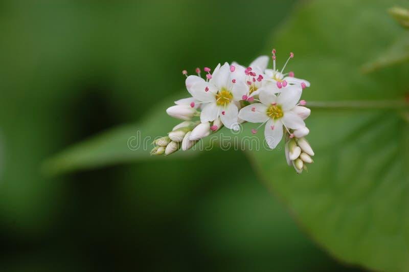 Flowers of Perennnial buckwheat. (Fagopyrum dibotrys) .Japan name is Shakuchili-soba stock images