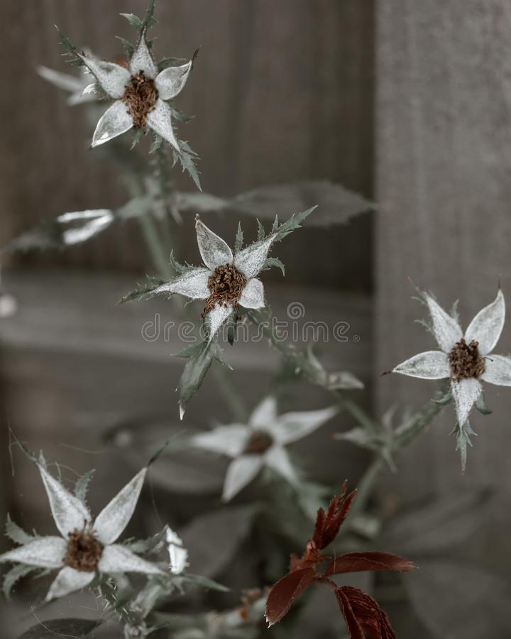 Flowers without petals growing through a fence stock image