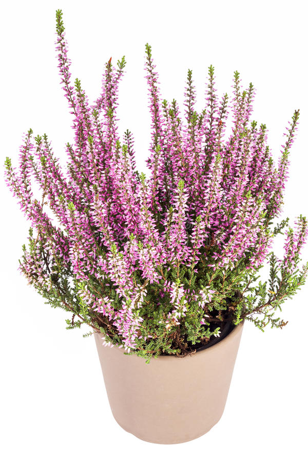Calluna Vulgaris flowers of pink calluna vulgaris in pot on white background stock