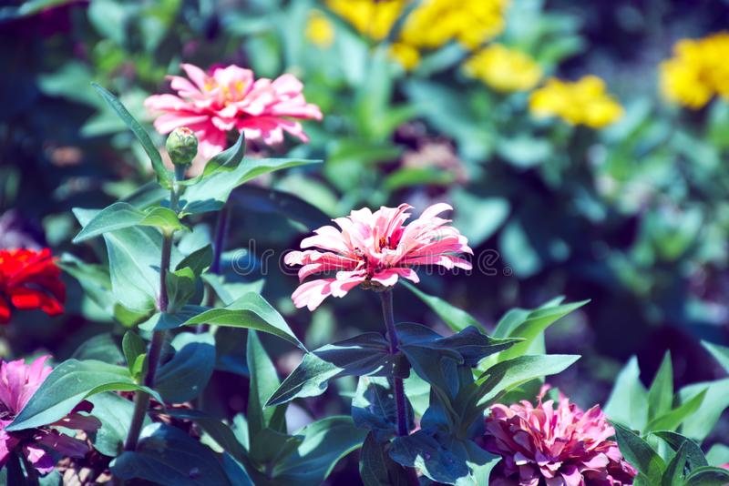Flowers in pink hues in a garden royalty free stock photos
