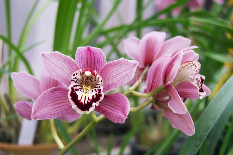 Flowers of pink orchid. Horizontal photo of phalaenopsis flowers. Orchid in bloom. Pink phalaenopsis. Botanical Garden. Wallpaper stock photo