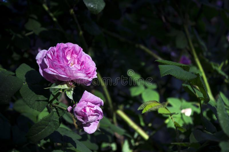 Flowers pink rose for tea, delicate and beautiful flowering color, background.  stock photo