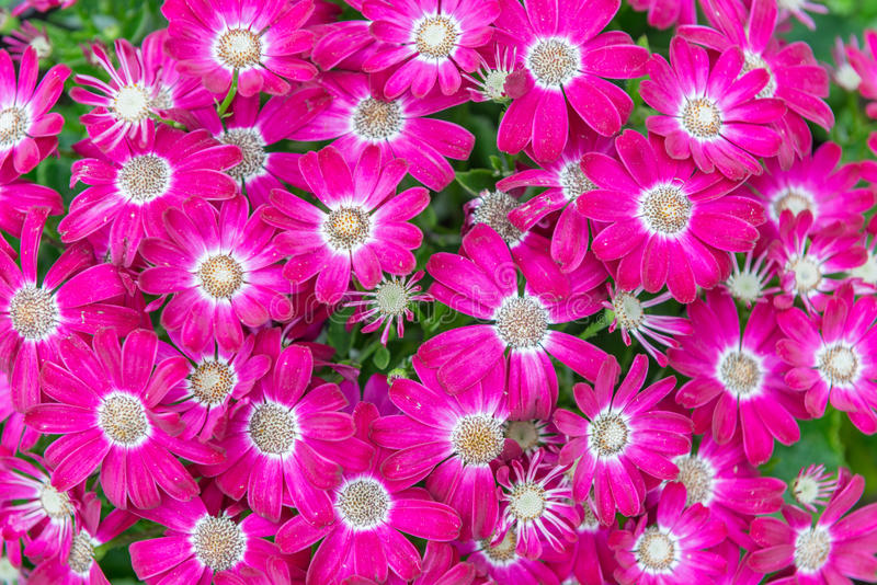 Flowers Pink and white Cineraria. Garden stock photography