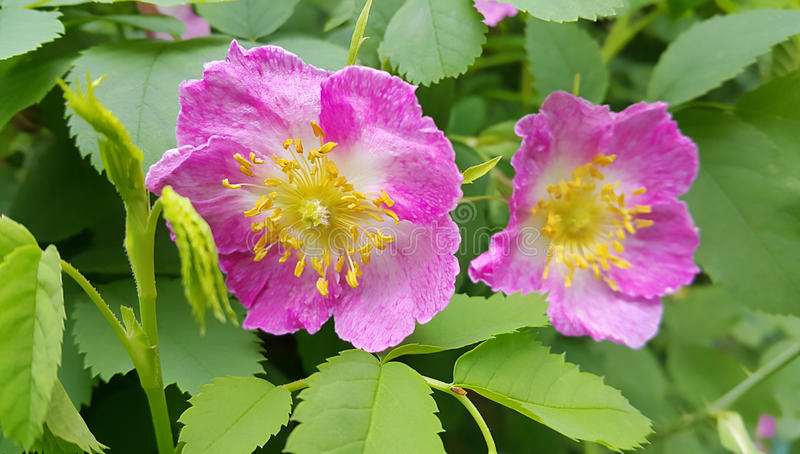 Flowers of a pink wild rose. Beautiful flowers of a pink wild rose stock photos