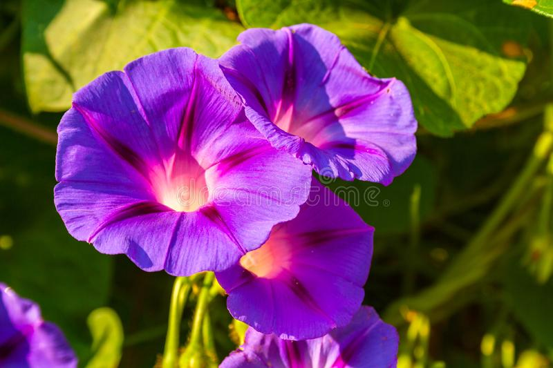 Flowers of the plant bindweed, which is considered as a weed and ornamental plant royalty free stock photo