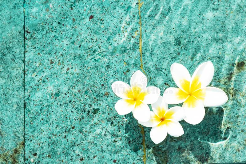 Flowers of plumeria in the turquoise water surface. Water fluctuations copy-space. Spa concept background. Flowers of plumeria close-up in the turquoise water stock photography