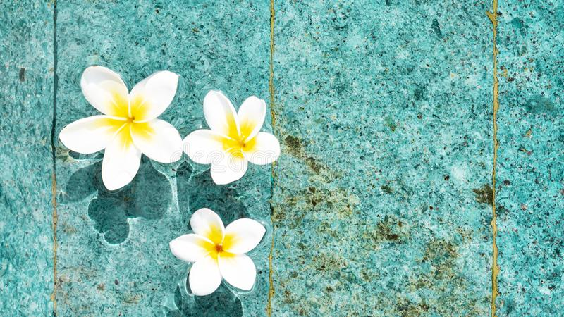 Flowers of plumeria in the turquoise water surface. Water fluctuations copy-space. Spa concept background. Flowers of plumeria close-up in the turquoise water royalty free stock photos